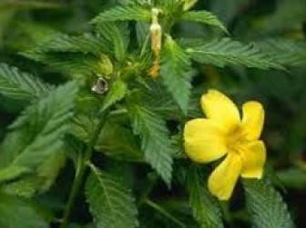 ereksiyonu artiran bitkiler